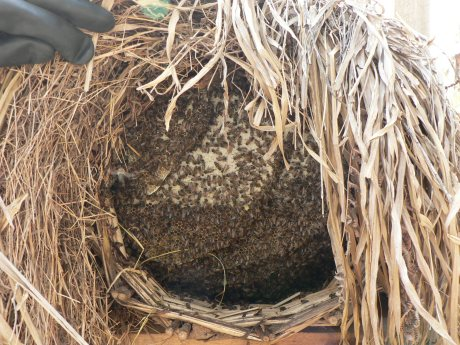 This traditonal bee hive is made from natural rattan wooven together. It is then covered with mud. The final touch to make this bee hive cool is to wrap it with dry leaves to reduce the heat from direct sunlight.
