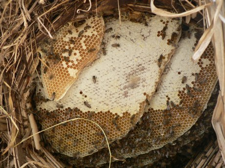 This is a closeup view of the ripe honey ready forharvesting. The beekeeper had already pushed the bees gently forward to the front with a little bit of smoke.