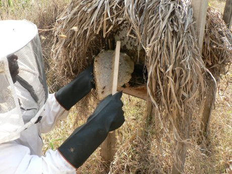 One by one from the back, the bee keepers remove the ripe honey without aggrevating the bees or killing them.