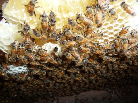 Close up view of the observation hive at the University.