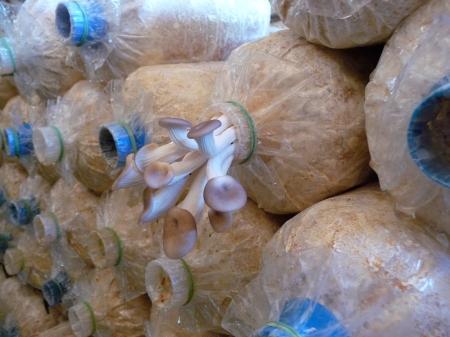 Cultured mushroom