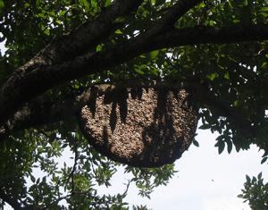 Apis Dorsata nest