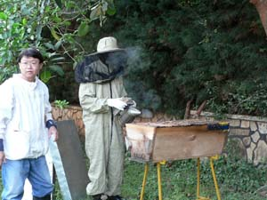 Bee master calming the bees with a smoker.